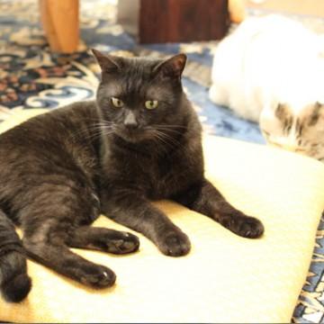 黒猫サバトラ白猫座布団の猫画像