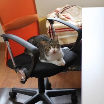 キジトラ白猫椅子の猫画像