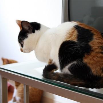 三毛猫茶トラ猫屋内の猫画像