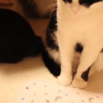 ハチワレ猫屋内の猫画像