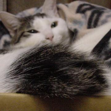 サバトラ白猫ダンボールの猫画像
