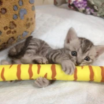 キジトラ猫子猫屋内の猫画像