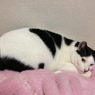 黒白猫毛布の猫画像
