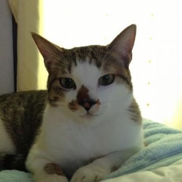 キジトラ白猫布団の猫画像