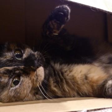 サビ猫ダンボールの猫画像