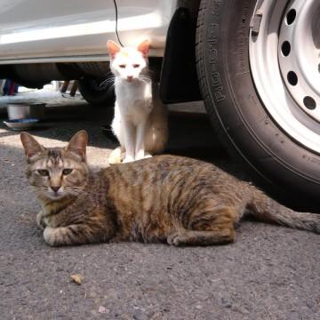 キジトラ猫白猫車の猫画像
