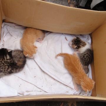 茶トラ猫キジトラ猫キジトラ白猫子猫ダンボールの猫画像