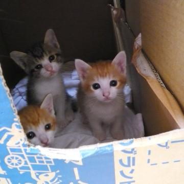 茶トラ白猫キジトラ白猫子猫ダンボールの猫画像