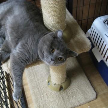 灰猫キャットタワーの猫画像