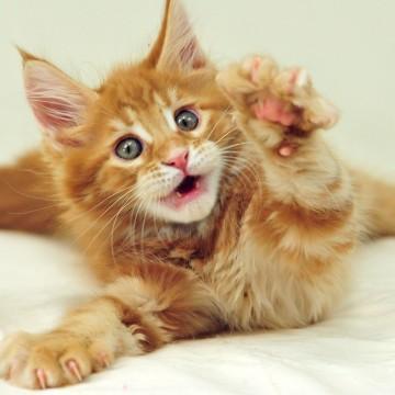 茶トラ猫子猫布団の猫画像