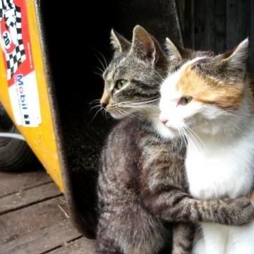 キジトラ猫とび三毛猫屋外の猫画像
