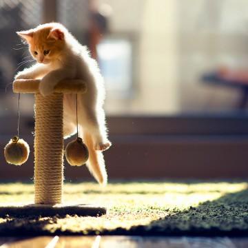 茶トラ白猫子猫キャットタワーの猫画像