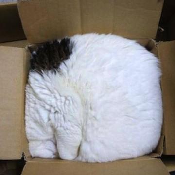 黒白猫ダンボールの猫画像