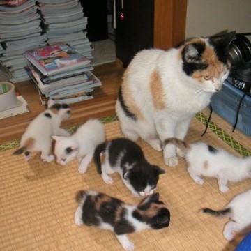 三毛猫ハチワレ猫子猫畳の猫画像