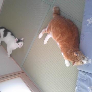 茶トラ白猫黒白猫畳の猫画像