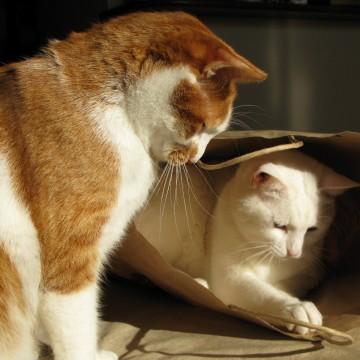 茶トラ白猫白猫ダンボールの猫画像