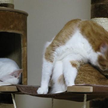 茶トラ白猫白猫キャットタワーの猫画像
