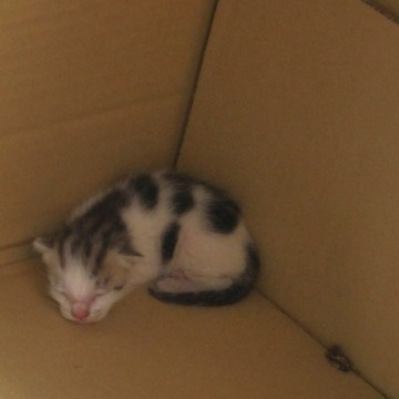 とび三毛猫子猫ダンボールの猫画像