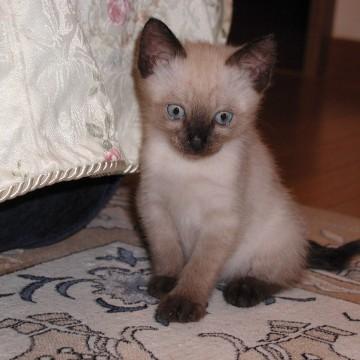 ポインテッド猫子猫屋内の猫画像