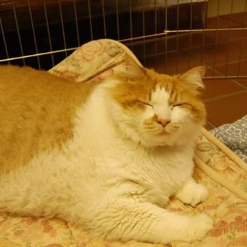 茶トラ白猫デブの猫画像