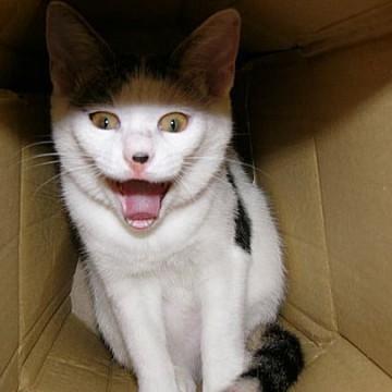 とび三毛猫ダンボールの猫画像
