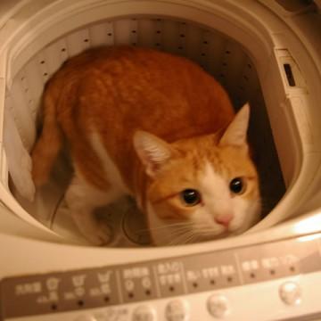茶トラ白猫洗濯機の猫画像