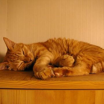 茶トラ猫昼寝の猫画像