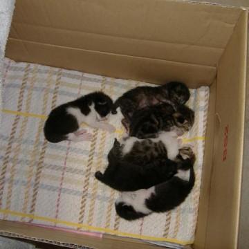ハチワレ猫キジトラ猫子猫ダンボールの猫画像