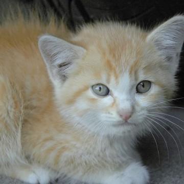 茶トラ白猫子猫の猫画像