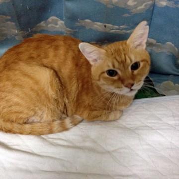 茶トラ猫布団の猫画像