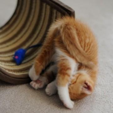 茶トラ白猫子猫屋内の猫画像