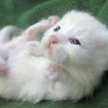 白猫子猫の猫画像