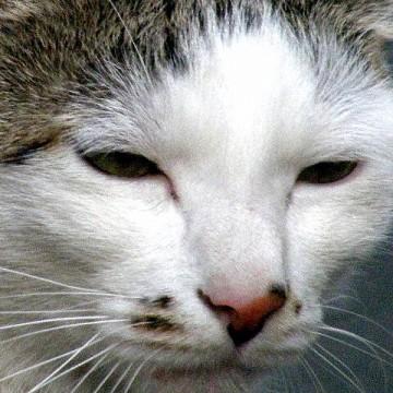 サバトラ白猫顔面の猫画像