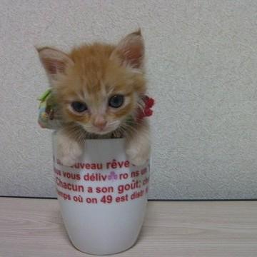 茶トラ猫子猫コップの猫画像