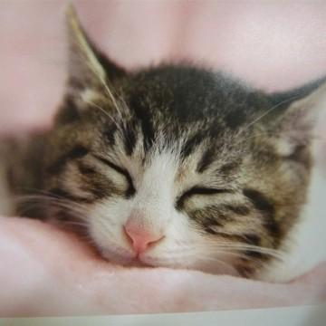 キジトラ白猫子猫昼寝の猫画像