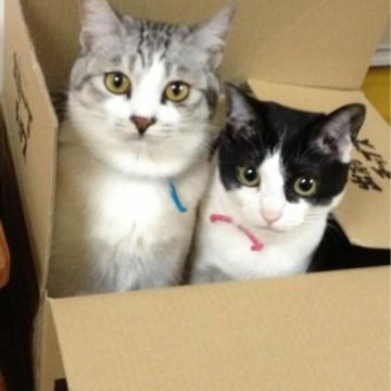サバトラ猫ハチワレ猫ダンボールの猫画像