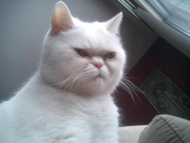 白猫ブサイク   cat.sc 猫画像
