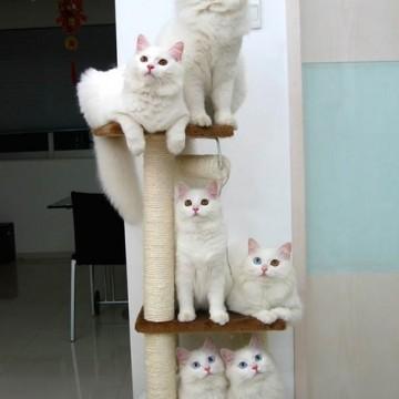 白猫キャットタワーの猫画像