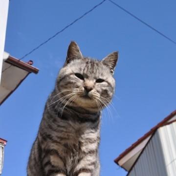 サバトラ猫屋外の猫画像