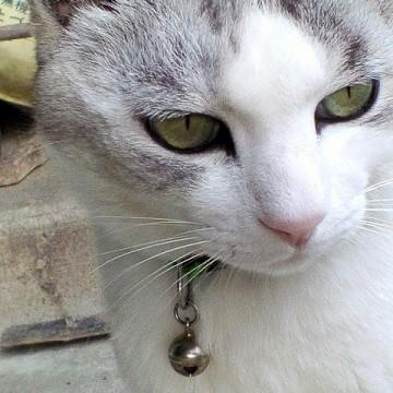 サバトラ白猫屋外の猫画像