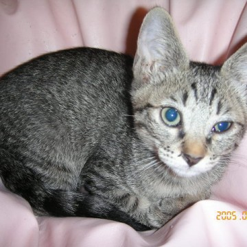 サバトラ猫布団の猫画像