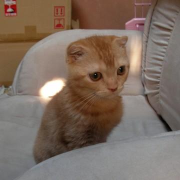 茶トラ猫ソファーの猫画像