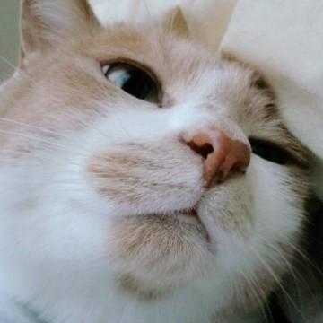 茶トラ白猫屋内の猫画像