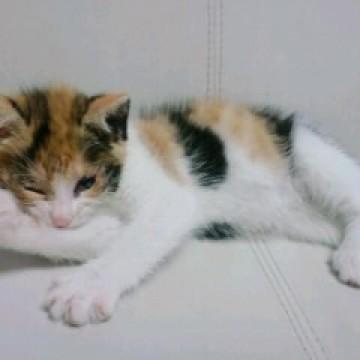 三毛猫子猫ソファーの猫画像