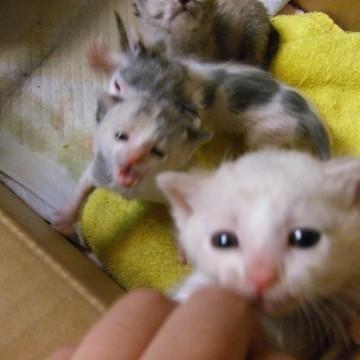 白猫灰白猫子猫ダンボールの猫画像
