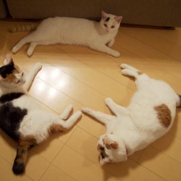 三毛猫とび三毛猫フローリングの猫画像