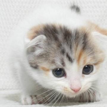三毛猫子猫屋内の猫画像