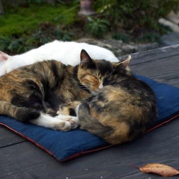サビ猫白猫座布団の猫画像