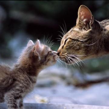 キジトラ猫子猫親子の猫画像