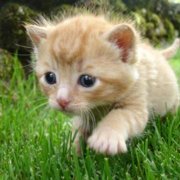茶トラ猫子猫芝生の猫画像